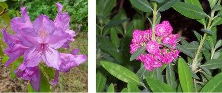 Hoa-Rhododendron-Ponticum-va-Kalmia-Augustifolia