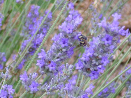 800px-Lavandula_latifolia_EnfoqueEspiga_2010-6-25_DehesaBoyaldePuertollano